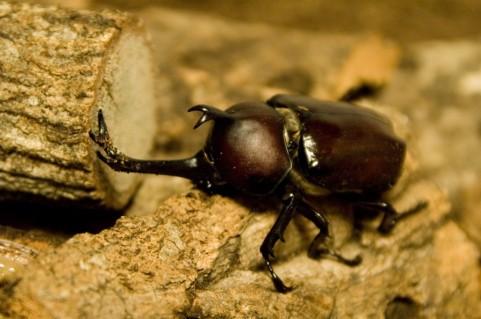 北海道にはそもそもカブト虫はいないので、「カブトムシ捨てないで」というニュース