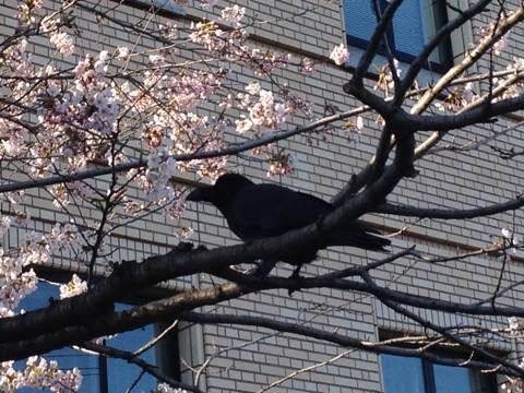 カラスと桜
