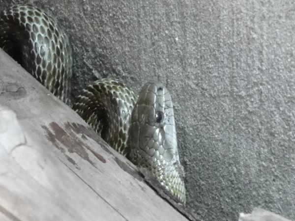 小樽市のHPに「知っておこうヘビの基礎知識」というページがあったので、たまにヘビに遭遇するので見ておきました
