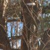 小樽公園の雪の白樺林でコツコツと野鳥の音が!?これはコゲラ!?【動画あり】